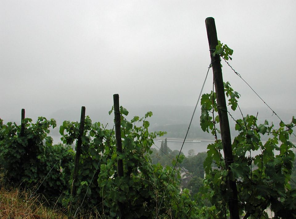 Weinberg bei Regen